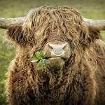 Close up of leaves chewing highland cattle bull with iron nose ring. A branch with some leaves shows cool out of the corner of his mouth.
