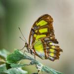 Tiger-Passionsfalter (Heliconius ismenius)