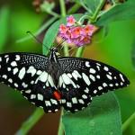 Zitrus-Schwalbenschwanz (Papilio demoleus)