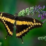 Königspage (Papilio thoas)